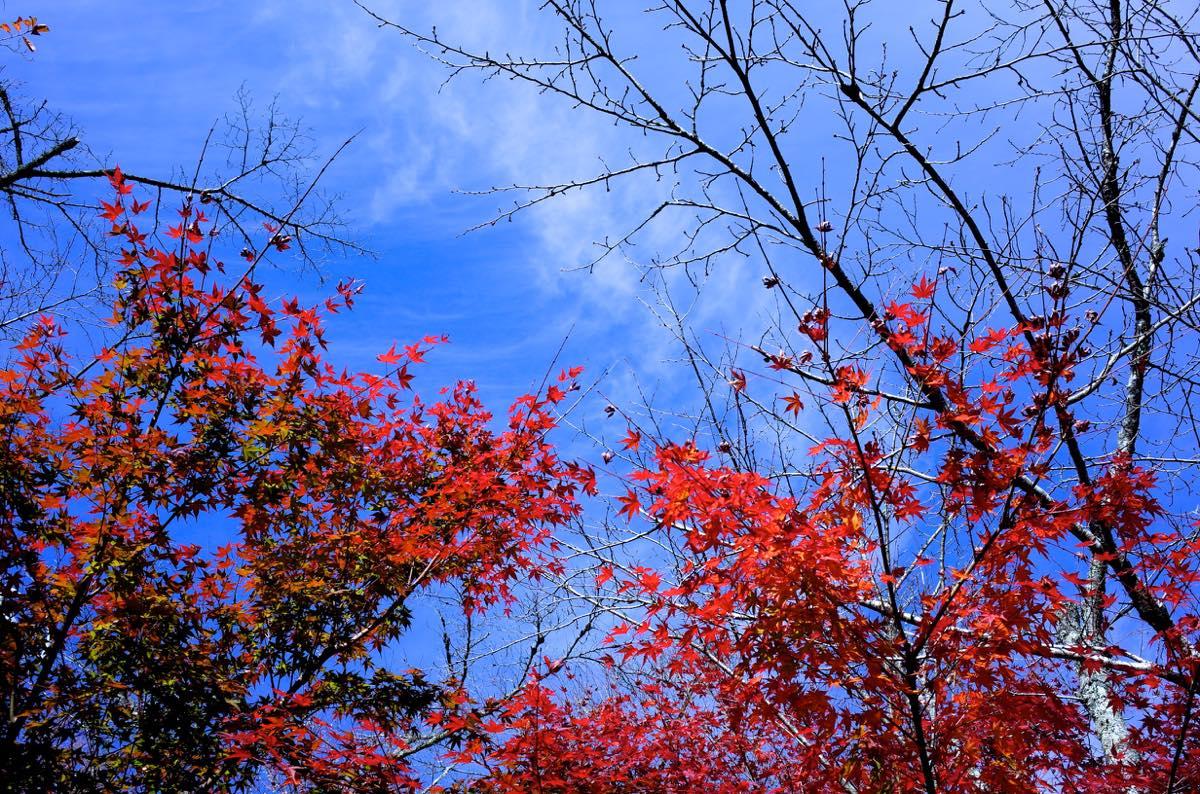 紅葉と青空を下から撮影