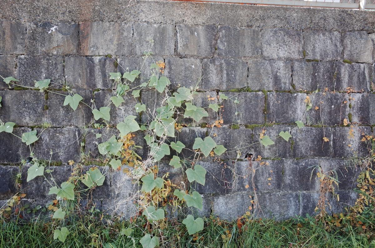 石の壁にある雑草