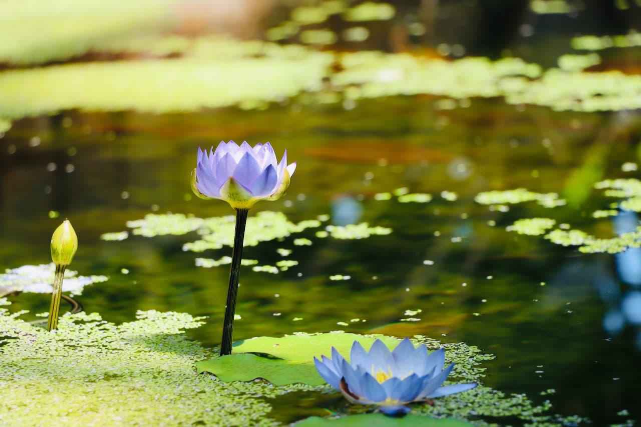 京都府立植物園の蓮の花