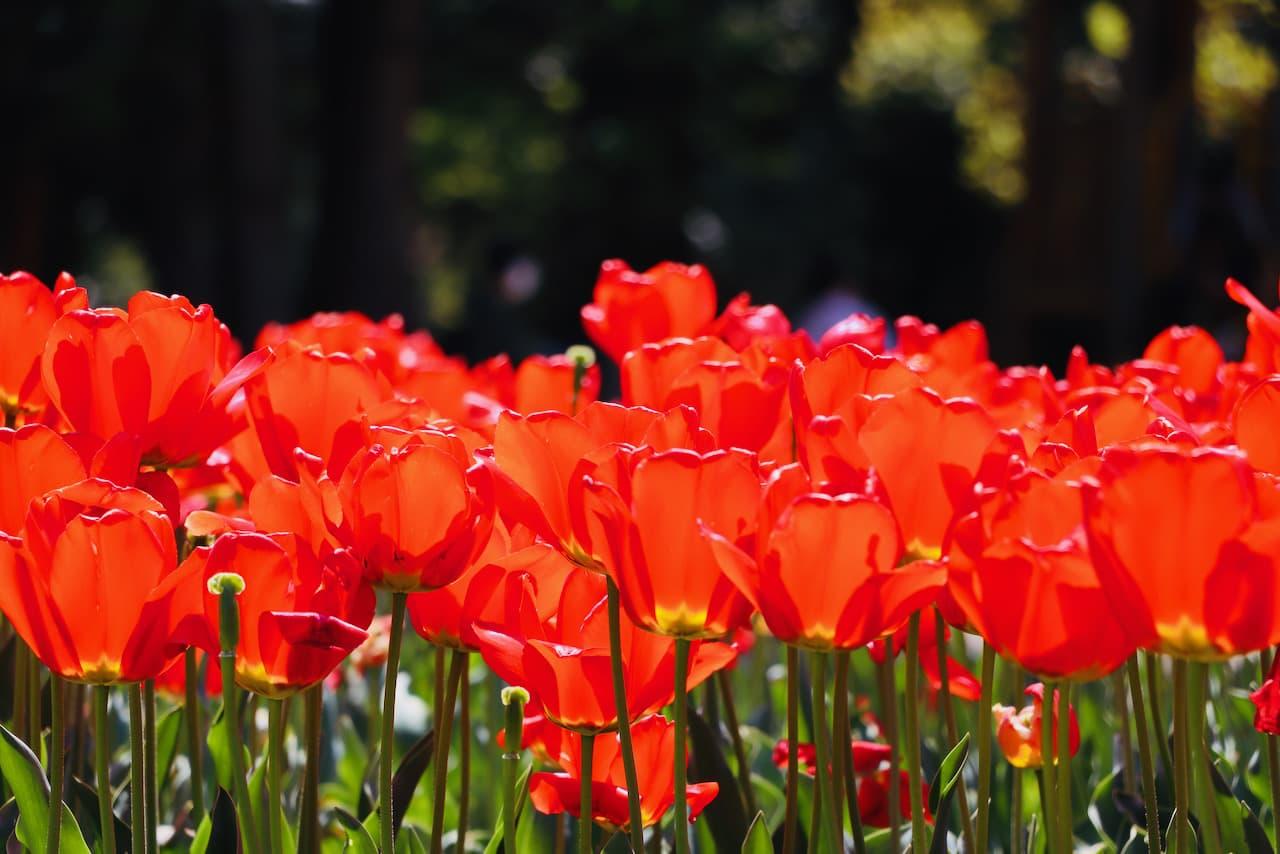 京都府立植物園のチューリップ